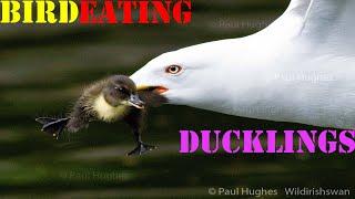 Frantic mother ducks attack a bird eating ducklings