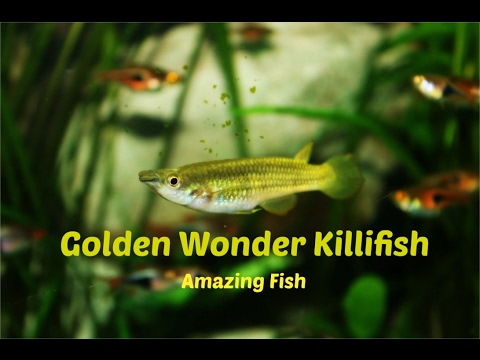 Golden Wonder Killifish: Amazing Fish