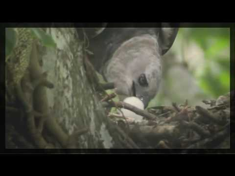 The Most Powerful Birds - National Geographic - Harpy Eagles Attacks