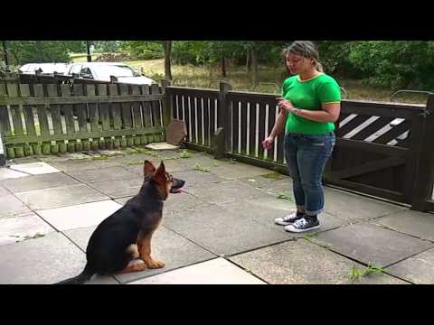 Amazing German Shepherd Puppy - Alpha Vonziu