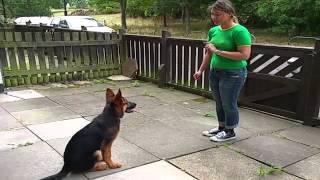 Amazing German Shepherd Puppy - Alpha Vonziu