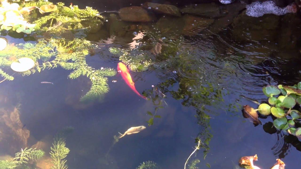 Natural Garden Pond Update Tempe Arizona Youtube