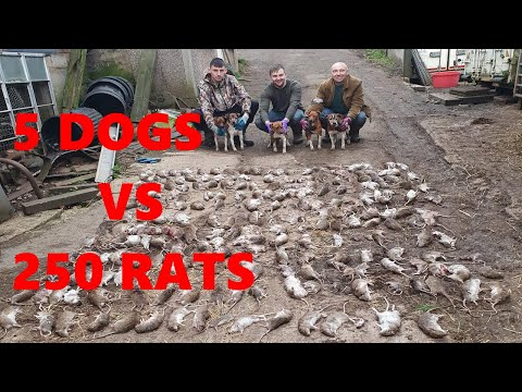 Severn Valley Ratters - Mayhem In The Bales   Episode 7 -236 Rats Killed Ratting