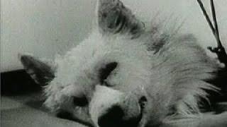 Russian Dog Head transplant Experiment