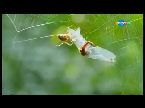 Как пауки плетут паутину видео