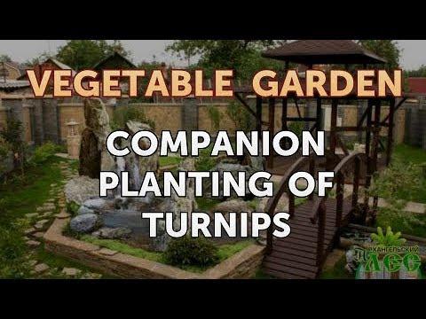 Companion Planting of Turnips - YouTube Turnip Companion Plants