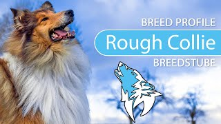 Rough Collie Breed, Temperament & Training