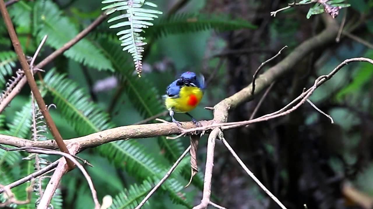 Burung Pentis Pelangi