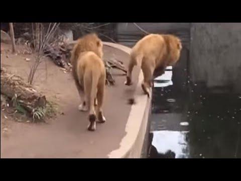 Cadas Graciosas de Animales