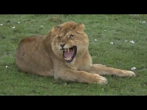 Safari Live : Lone Male Lion trying to join a new coalition of 4 Male Lions  Oct 26, 2017