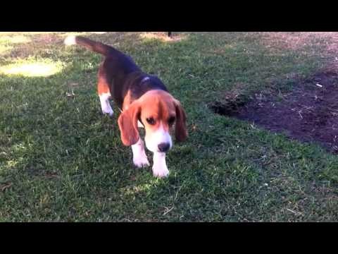 My Beagle Dog cute