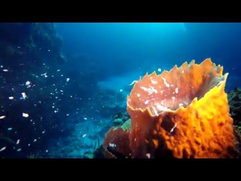 Barrel Sponge Spawning  4k UHD