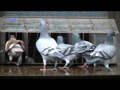 Peter Haas *Day with...* (Racing Pigeons, Brieftauben, Palomas) [2013]