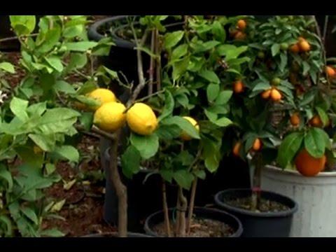 Hobi Bahçecilik: Saksıda Limon, Portakal, Mandalin Yetiştiriciliği