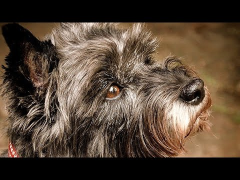 Amazing Facts on Cairn Terrier | In Hindi | Dog Facts | Animal Channel Hindi