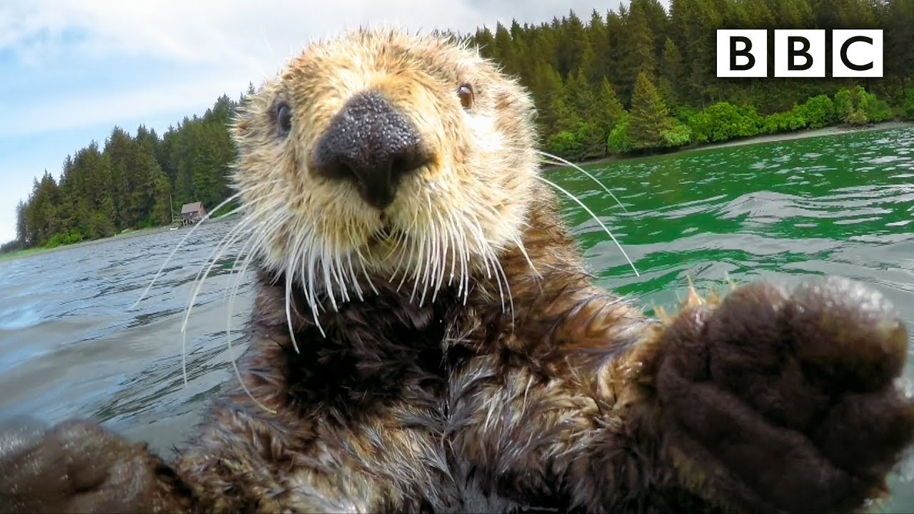 Cute Otters Intimately Filmed By Spy Camera Spy In The Wild Episode 2 Preview Bbc One Youtube