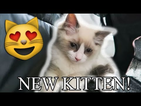 Picking Up Our NEW RAGDOLL KITTEN!