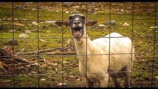The Screaming Sheep (Original Upload) thumbnail