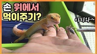 도마뱀 만지면서 먹이주기 가능 파충류는 핸들링 싫어해요…