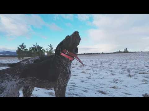 Pheasant Hunting with Bird Dogs - Bonus Grouse! S2