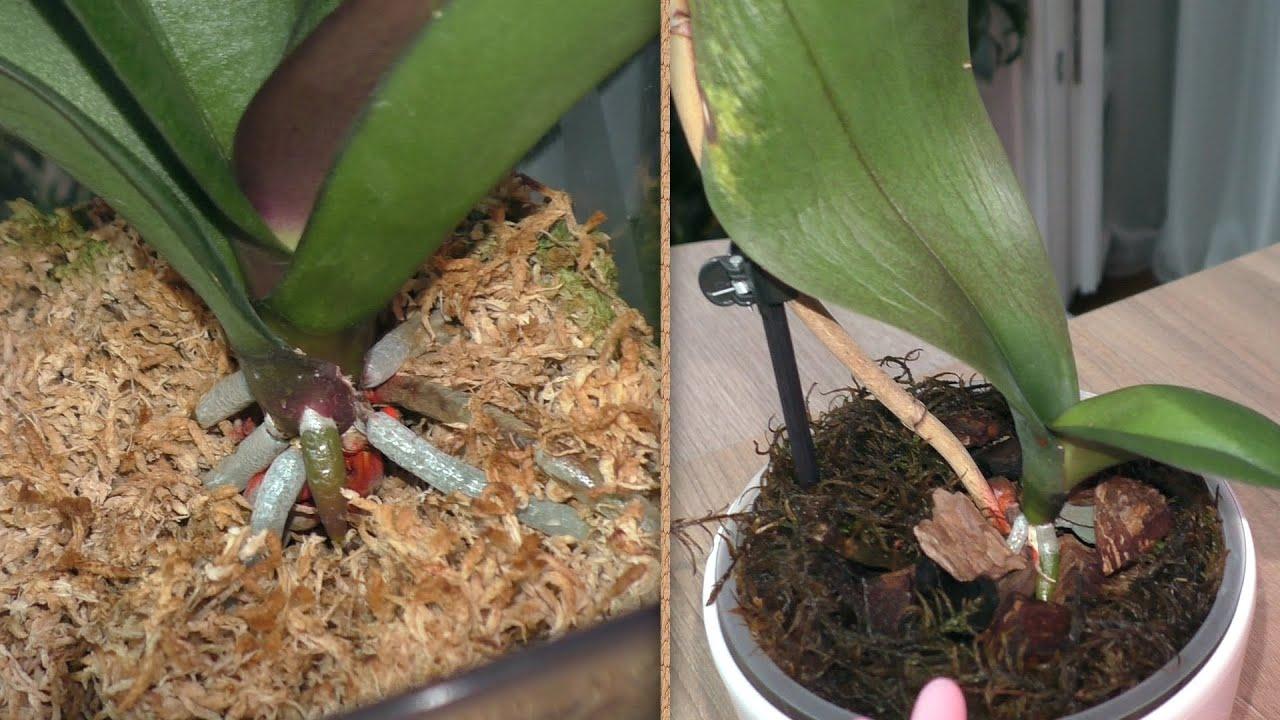 С Орхидеей ЯГУАР было всё неоднозначно... что дальше? / Моя КАТЕРИНА ЗАЦВЕЛА.