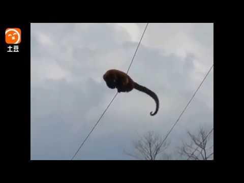猴子在电线上游走, 被高压电击中瞬间变火猴