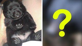 девушка купила щенка тибетского мастифа, а через 2 года поняла, что это вовсе не собака!