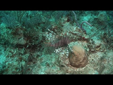 Florida Wages War On Invasive Lionfish