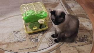 Симка и хомячки. Симка дежурит у клетки/Cat and hamsters. Cat is on duty at the cage