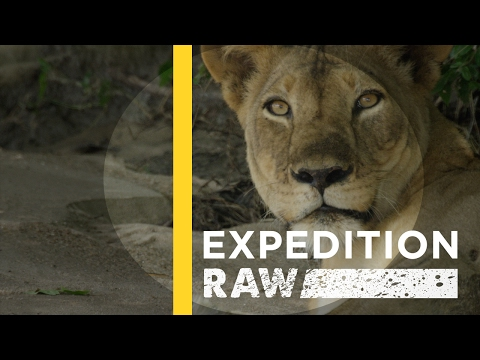 Ride Along With a Team of Lion Protectors | Expedition Raw