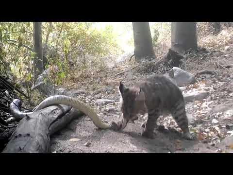 Bobcat Kills Rattlesnake While Fighting - 1147348