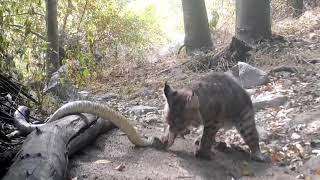 Bobcat Kills Rattlesnake While Fighting - 1147348