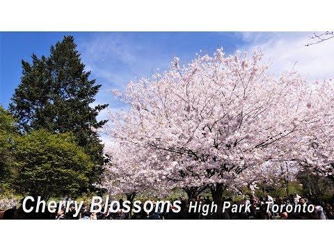CHERRY BLOSSOMS HIGH PARK TORONTO CANADA