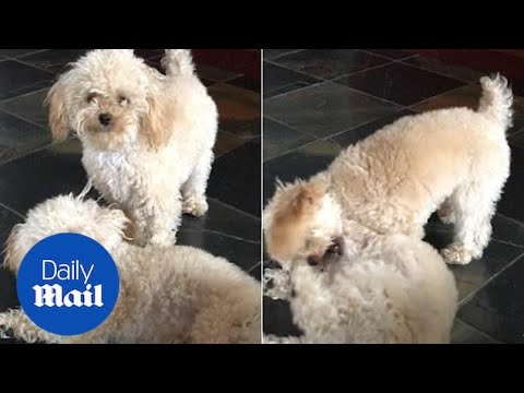 Brody - Woman Spends $50,000 To Clone Her Dog 3 Times