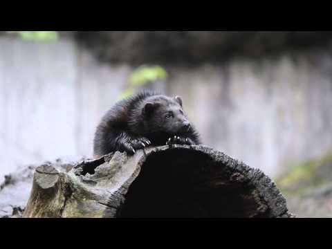 Wild Nordic Animals: The Wolverine