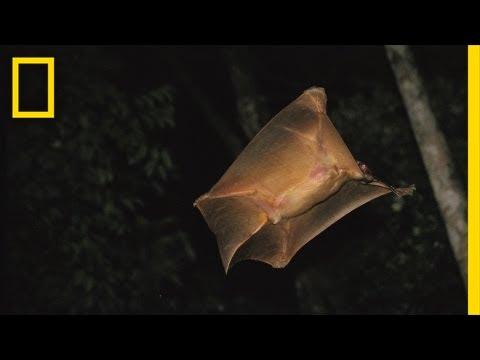 It's a Bird, It's a Plane ... It's a Colugo? | Nat Geo Live
