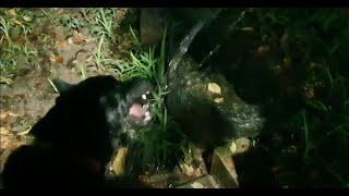 진돗개(캐리와 블랙 칸) 물을 짤라서 먹고 갈증해소