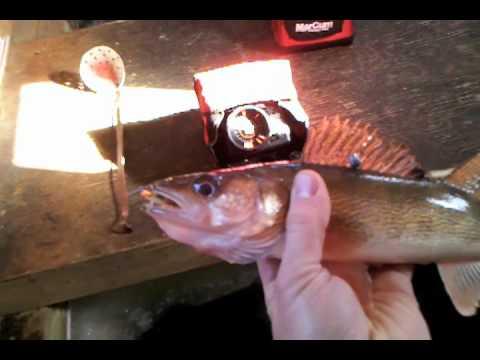 Minnesota walleye fishing lake of the woods ice fishing for Illinois ice fishing reports