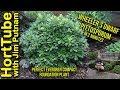 Wheeler's Dwarf Pittosporum in 2 Minutes - Perfect Foundation Plant
