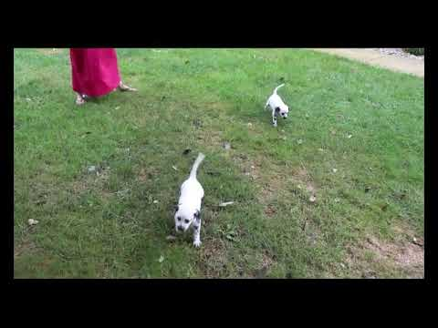 Dalmatian Puppies For Sale Kevin Yoder