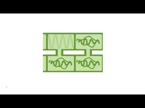 Размножение многоклеточной водоросли спирогиры