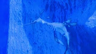 Rare weedy sea dragons added to Greater Cleveland Aquarium