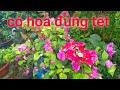 Cách cắt tỉa cây hoa giấy nở đúng tết 2020