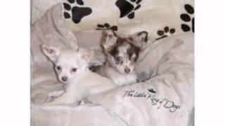 Chihuahua Welpen In Nordrhein-westfalen - Iserlohn