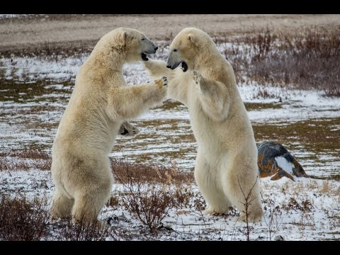 Polar Bears acting like Puppies in Churchill Manitoba
