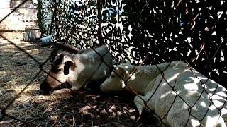 Северные олени в Уфе томятся в жару