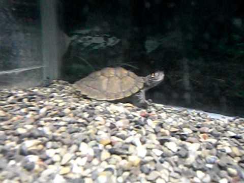 Le mie tartarughe acquatiche youtube for Tartarughe acquatiche vendita