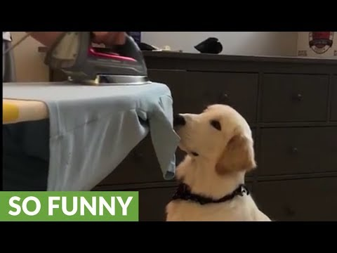 """Dog attempts to """"eat"""" iron steam while owner presses shirt"""