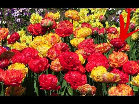 Уход за Тюльпанами Весной Тюльпаны Будут Самые Пышные! Подкормка Тюльпанов Весной