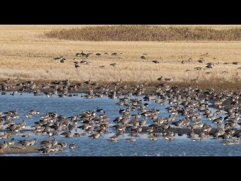Hired to Hunt Season 4 #4:  #hittinthefeet – Goose Hunting and Duck Hunting.  Limit Hunts in Alberta
